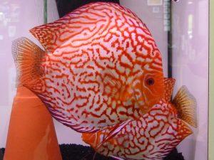 pez disco sangre de paloma