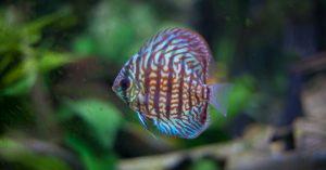 pez disco turquesa rojo