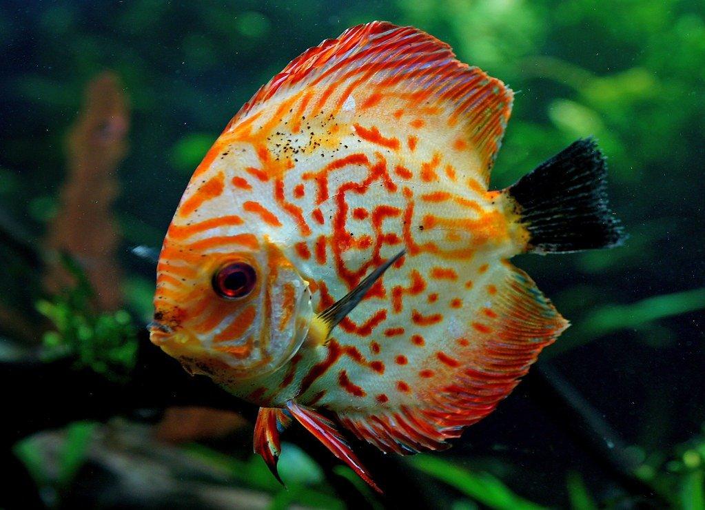 peces discos imágenes
