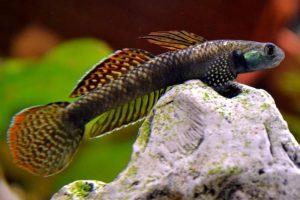imagen del pez gobio arcoiris