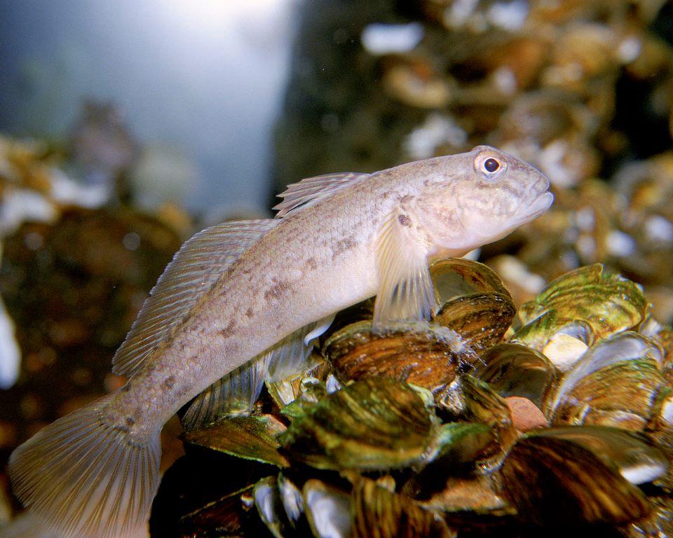 pez gobio arcoiris