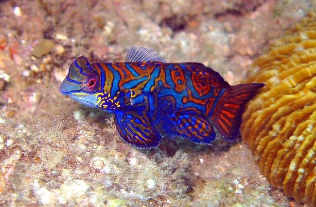 pez gobio mandarin