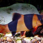 pez locha payaso