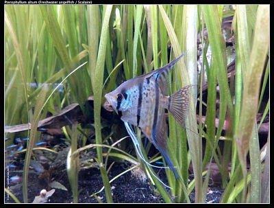 pez angel altum