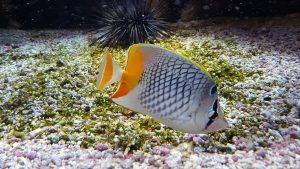 peces exóticos