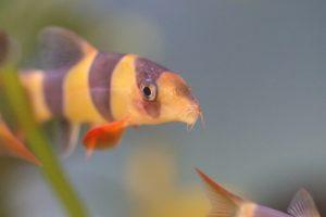 peces lochas.