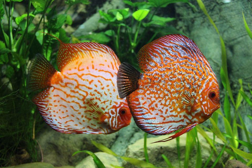 pez disco macho y hembra