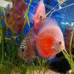 pez disco rojo