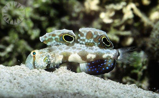peces gobios acuario marino