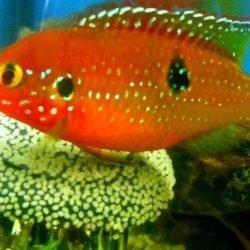 pez joya rojo