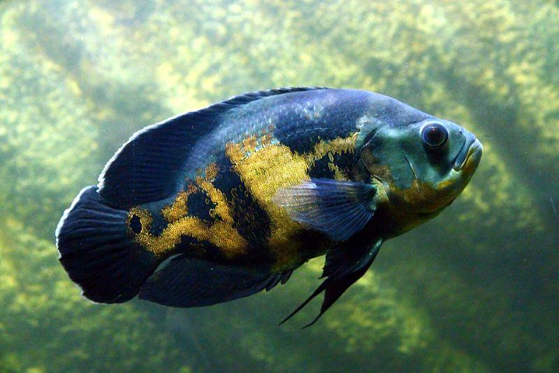 fotografías del pez oscar