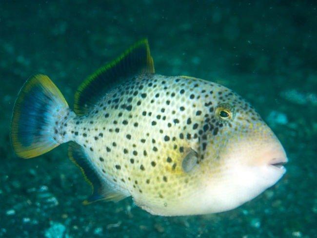 fotos del pez ballesta