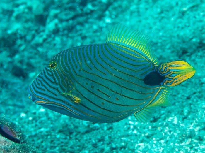 imágenes del pez ballesta