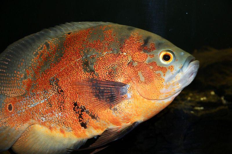 imágenes del pez oscar