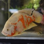 las mejores fotografías del pez oscar