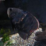 las mejores fotos del pez oscar