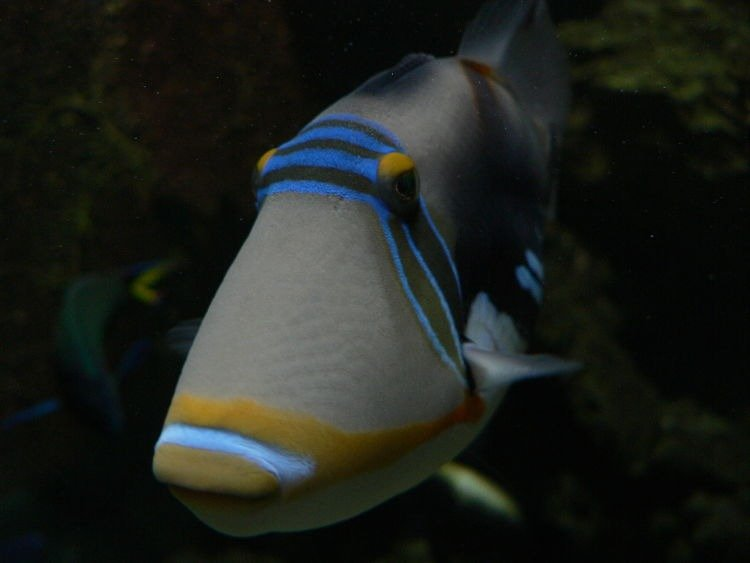 las mejores imágenes del pez ballesta