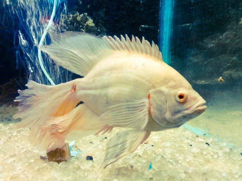 las mejores imágenes del pez oscar