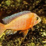 peces exóticos de agua fría