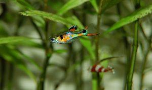peces guppys