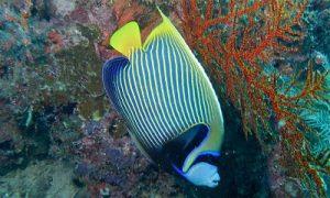 pez angel emperador adulto