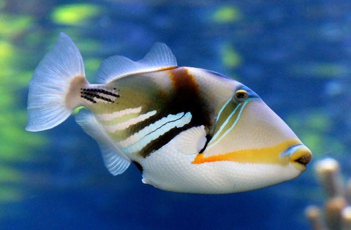 pez ballesta