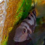 pez ciclido convicto