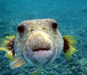 pez globo, alimentacion pez globo enano, alimentacion pez globo enano de agua dulce, alimentacion pez globo mini, peces globo alimentacion, pez globo agua dulce alimentacion, pez globo su alimentacion