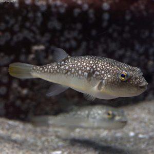 pez globo japones