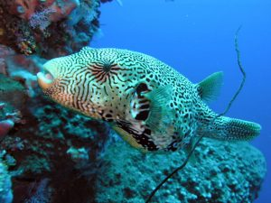 pez globo mapa