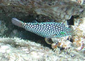 pez globo moteado hawaino
