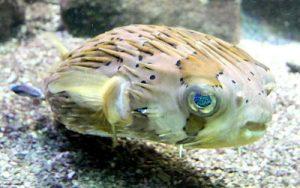pez globo puercoespín