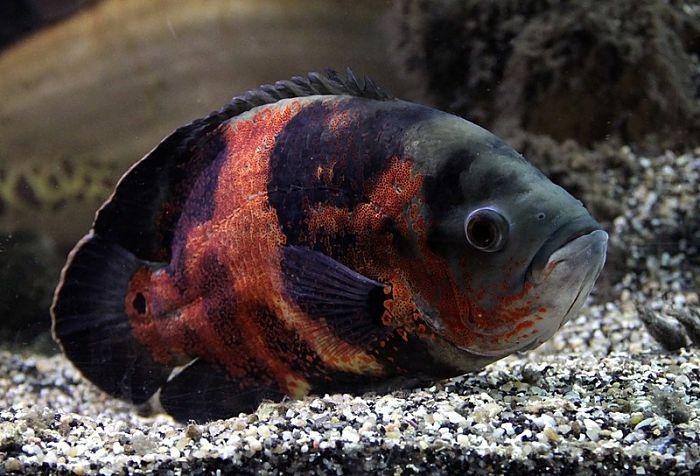 pez oscar