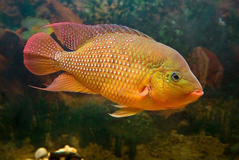 pez terror rojo