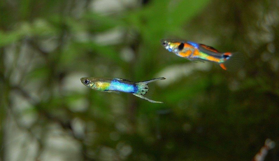 Las mejores fotografías de peces guppys