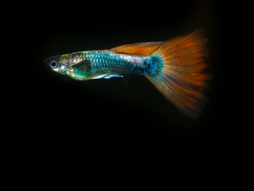Fotos de peces guppys