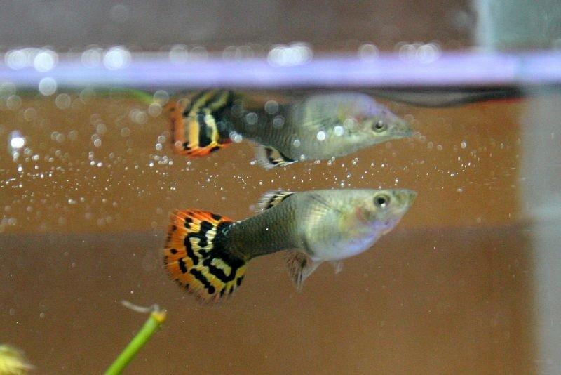 pez guppy imágenes