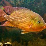 peces ciclidos