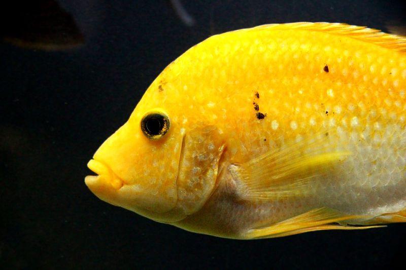 fotos de peces ciclidos