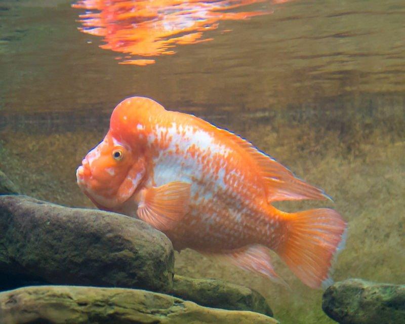 que significa peces ciclidos,nombres de peces ciclidos