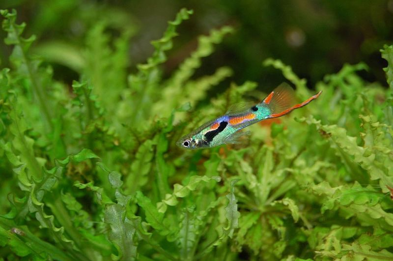 pez guppy fotos