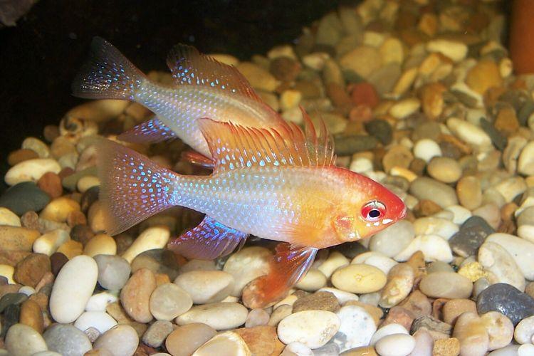 fotos del pez ramirezi