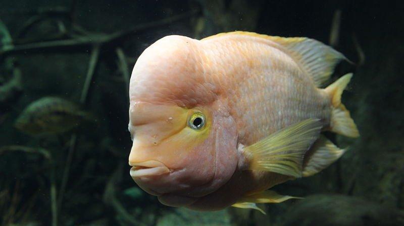 fotos del pez rey midas