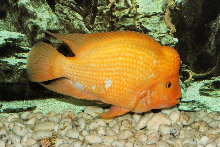 imagen del pez rey midas_