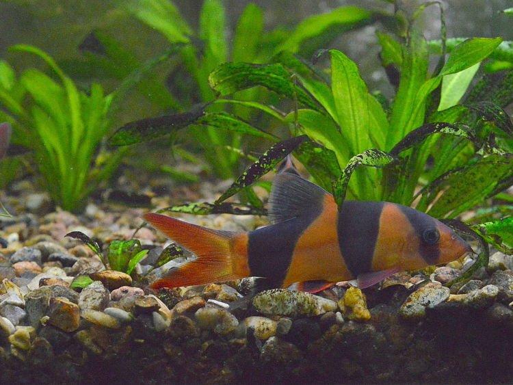 imágenes de peces lochas