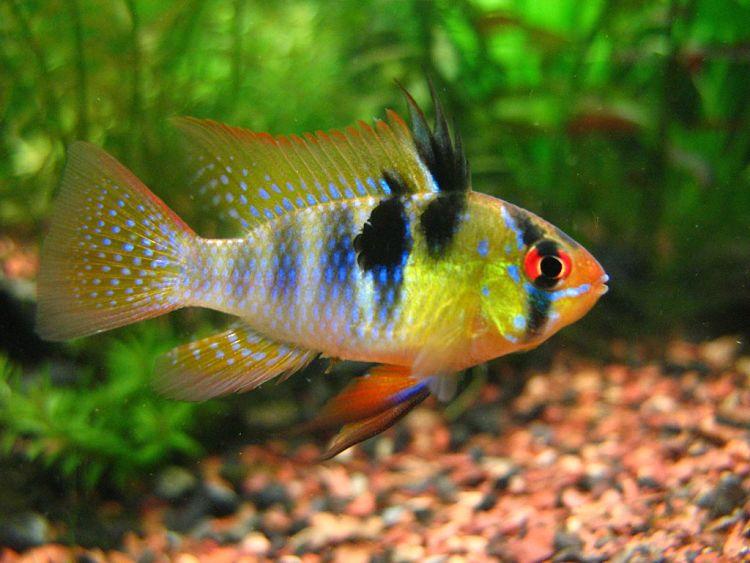 imágenes del pez ramirezi