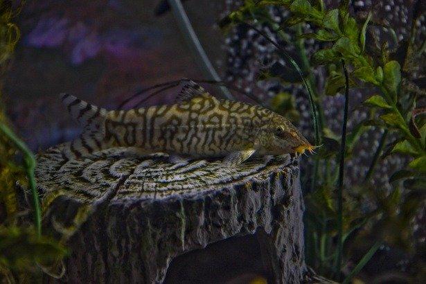 peces lochas imágenes