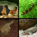peces lochas
