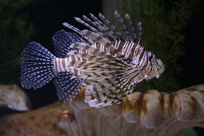 imágenes del pez león