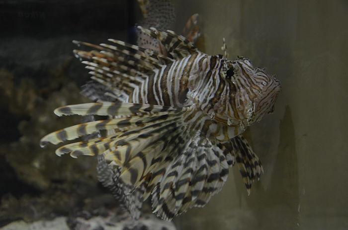 fotos del pez león